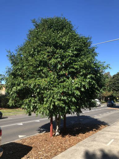 Weeping Lilly Pilly | Northern Beaches Council